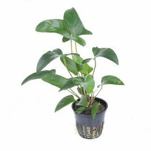 Anubias gracilis - Potted