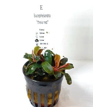 Bucephalandra 'Theia Red' - Potted