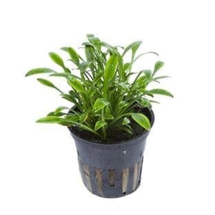 Cryptocoryne Parva Potted