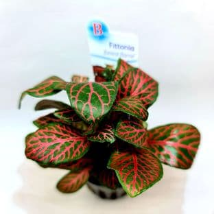 Fittonia Forest Flame - Potted