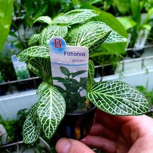 Fittonia green - Potted