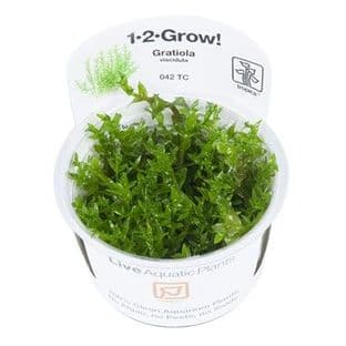 Gratiola viscidula - 1.2.Grow!
