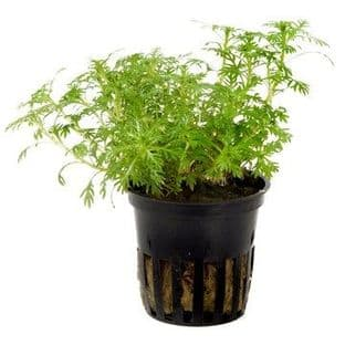 Hottonia palustris - Potted