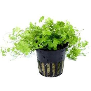 Hydrocotyle tripartita - Potted