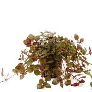 "Ludwigia palustris ""Super Red"" - Potted"