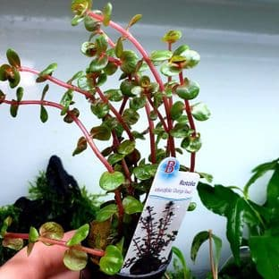 Rotala 'Orange Juice' - Potted