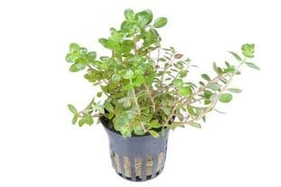 Rotala rotundifolia - Potted