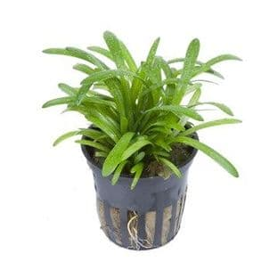 Sagittaria subulata - Potted