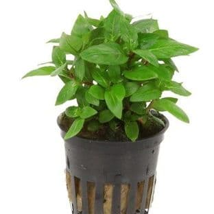 Staurogyne repens - Potted