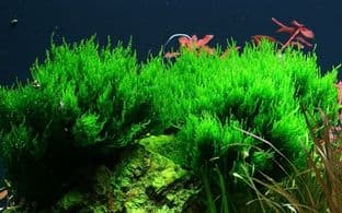 Taxiphyllum 'Flame' Moss - Tropica Limited Edition Portion