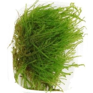 Taxiphyllum 'Spiky' Moss - Portion