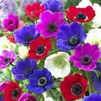 Anemone Bulbs - Free with every order