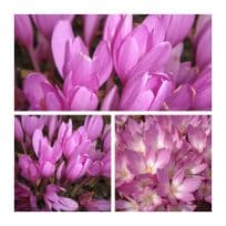 Colchicum - The Giant